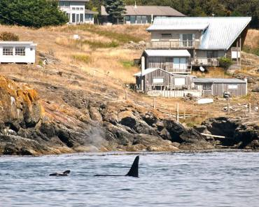 Orcas in our own backyard